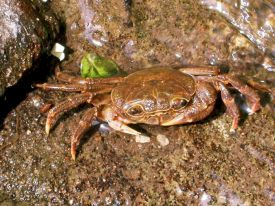 Crabe d�eau source, Potamon fluviatile, Valle del Treja